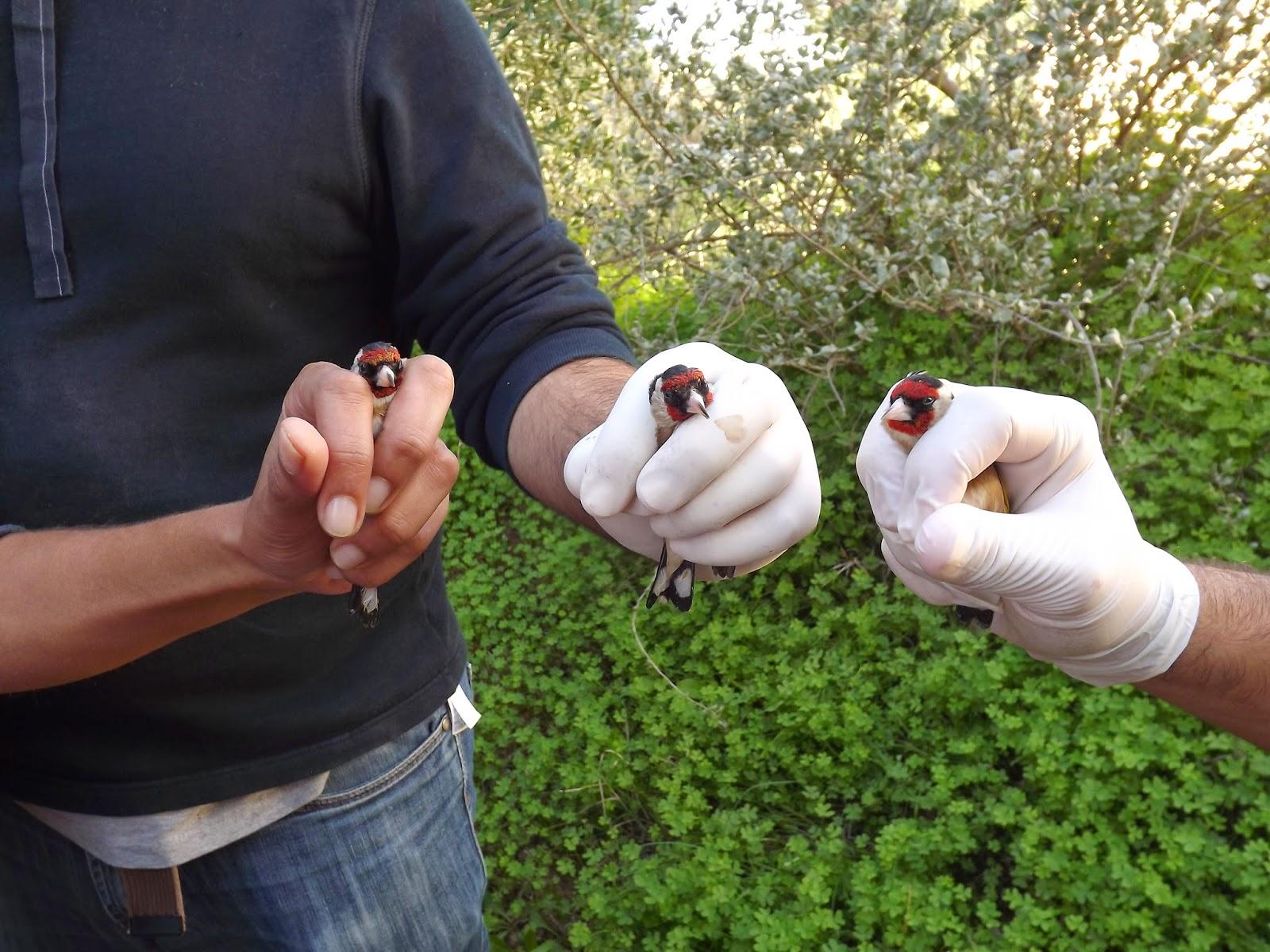 Detido por caça ilegal de aves protegidas